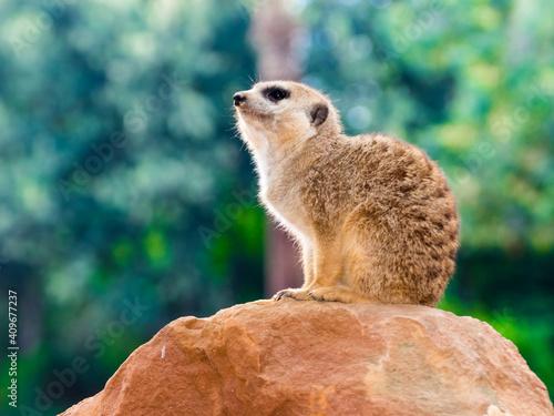 Fototapeta Young meerkat is sitting on a rock
