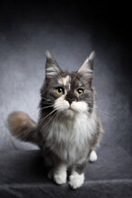 Curious Calico Maine Coon Cat Studio Shot On Gray Concrete Style Background