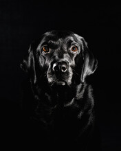 Black Labrador Retriever In Grayscale