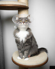 Gray Longhair Cat Sitting On Scratching Post Wearing Plastic Cone Around The Neck After Surgery At The Veterinarian