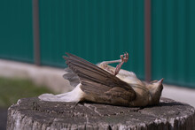 A Small Dead Bird Lies On A Wooden Stump. Close-up. The Rear Background Is A Blurry Green Fence.