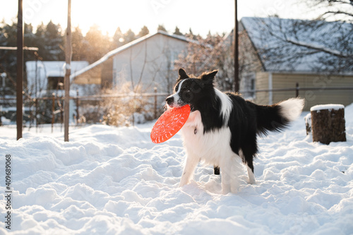 Foto Black and white border collie dog playing with dog frisbee in snow