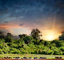Bufalos In Africa