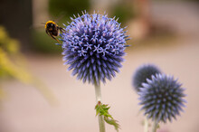 Bumble Bee On A Globe Thistle Flower