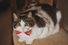 A Cat In A Bow Tie Is Sitting On A Chair 2601.