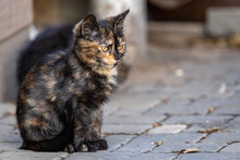 A Cute, Three-colored Stray Kitten Sits On A Sidewalk Tile On A Sunny Autumn Day Outside.