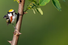 Chestnut-Sided Warbler Series