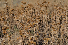 Dry Thistle Bushes, Background.