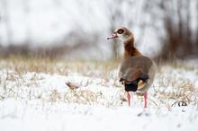 Nilgans (Alopochen Aegyptiaca) Im Schnee