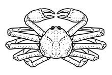 Snow Crab. Vector Line Art Illustration.