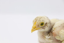 Beautiful Little Chick Isolated On The White