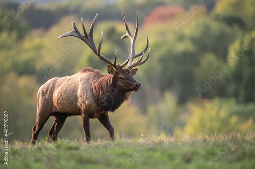 A bull elk in autumn during the rut