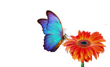 Bright Blue Morpho Butterfly On Red Gerbera Flower Isolated On White