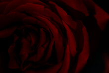 Closeup Of Beautiful Red Rose On Black Background