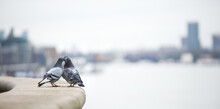 Selective Focus Shot Of Two Pigeons Kissing