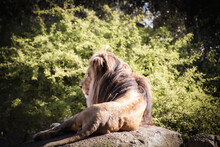 Sleeping Lion In The Zoo