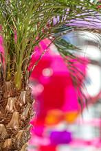 Date Palm Tree Closeup In Abu Dhabi, UAE. Tropical Paradise.