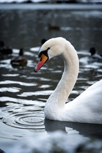 This Image Shows A Swan In The Winter Near The Black Forest In Germany. The Swan Is Swimming In A Small Lake.