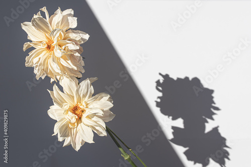 Billede på lærred white dahlias in direct light and shadow
