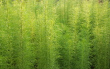 Green Leaves Of Dog Fennel Or Thoroughwort, Thailand. Leaf Shape Look Like Feathery Or Line.