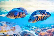 Astronotus Ocellatus Is A Popular Aquarium Fish In The Cichlid Family