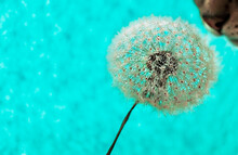 White Fluffy Dandelion With Seeds Close-up In Water Drops And Sniffing His Cat Nose Against A Blue Background With Selective Focus. Poster Design, Background, Macro Photography
