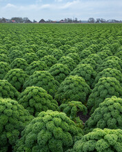 Kale. Field Of Kale. Vegetables. Noord Holland Netherlands. Agriculture. Open Ground Vegetables.