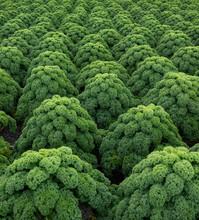 Kale. Field Of Kale. Vegetables. Noord Holland Netherlands. Agriculture. Open Ground Vegetables.