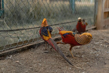 Golden Pheasant (Chrysolophus Pictus) Or Chinese Pheasant Outdoors