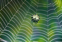 Spiny Orb Weaver Spider On The Net With Green Background