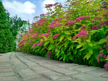 The Front Yard In Spring, Flowering Spiraea Japonica 'Goldmound'.