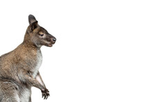 Male Kangaroo Portrait Isolated On White Background. Big Kangaroo Full Length, Side View. The Kangaroo Preparing To Jump. Banner With Copy Space