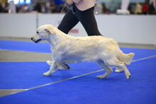 Cute Dog Of Golden Retriever Breed Running On A Ring