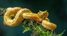 Eyelash Viper On A Branch