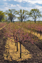 Blooming Peach Orchard Near Valtice, Southern Morava, Czech Republic