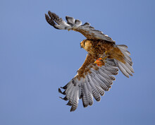 A Variable Hawk With A Chicken Head In Its Claws