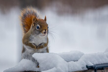 Close Up Of American Red Squirrel (Tamiasciurus Hudsonicus) Sitting In The Snow During Winter. Selective Focus, Background Blur And Foreground Blur.