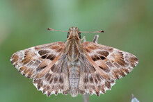 Detailed Dorsal Close Up Of A Mallow Skipper,  Carcharodus Alcea