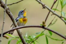 Singing Northern Parula Bird Captured In Ontario, Canada