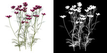 Front View Of Plant (Cosmos Bipinnatus) Tree Png With Alpha Channel To Cutout Made With 3D Render