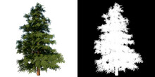Front View Of Plant (secuoyas Redwood Tree) Tree Png With Alpha Channel To Cutout Made With 3D Render