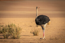 Common Ostrich ( Struthio Camelus), Sossusvlei, Namibia.