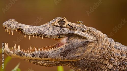 Fotografia, Obraz Close-up of yacare caiman, caiman yacare, with open mouth and visible teeth, Pantanal, Brasil
