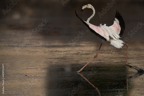 Fotografia Greater Flamingo landing at Tubli bay in the morning, Bahrain