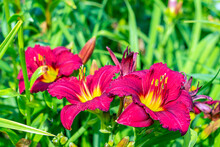 Daylily (Hemerocallis) Is Genus Of Plants Of Subfamily Daylily Family Asphodelaceae. Red Blooming Flowers. For Seed Packaging Cover