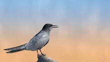 Black Tern Sitting On A Stump On A Beautiful Background