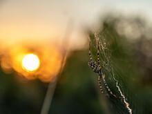 Araña Tigre (Argiope Lobata). Spider In Its Spiderweb At Sunset