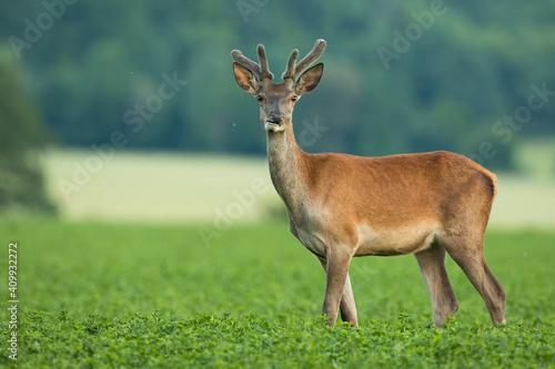 Tablou Canvas Red deer, cervus elaphus, stag with new antlers wrapped in velvet standing in clover