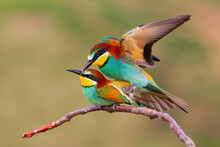 Two European Bee-eaters, Merops Apiaster, Mating On A Twig In Spring Nature. Pair Of Two Colorful Birds Copulating On A Branch With Blurred Background.