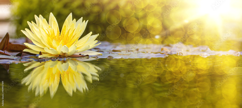 Fototapeta yellow water lily in pond under sunlight. Blossom time of lotus flower